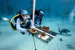 Divers installing coral fragments in a nursery | Credit: Alex Neufeld