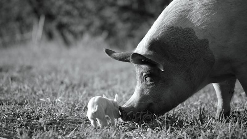 """The documentary """"Gunda"""" chronicles life on the farm for a mother pig and her adorable piglets."""
