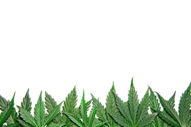 Cannabis leaves against a white background.