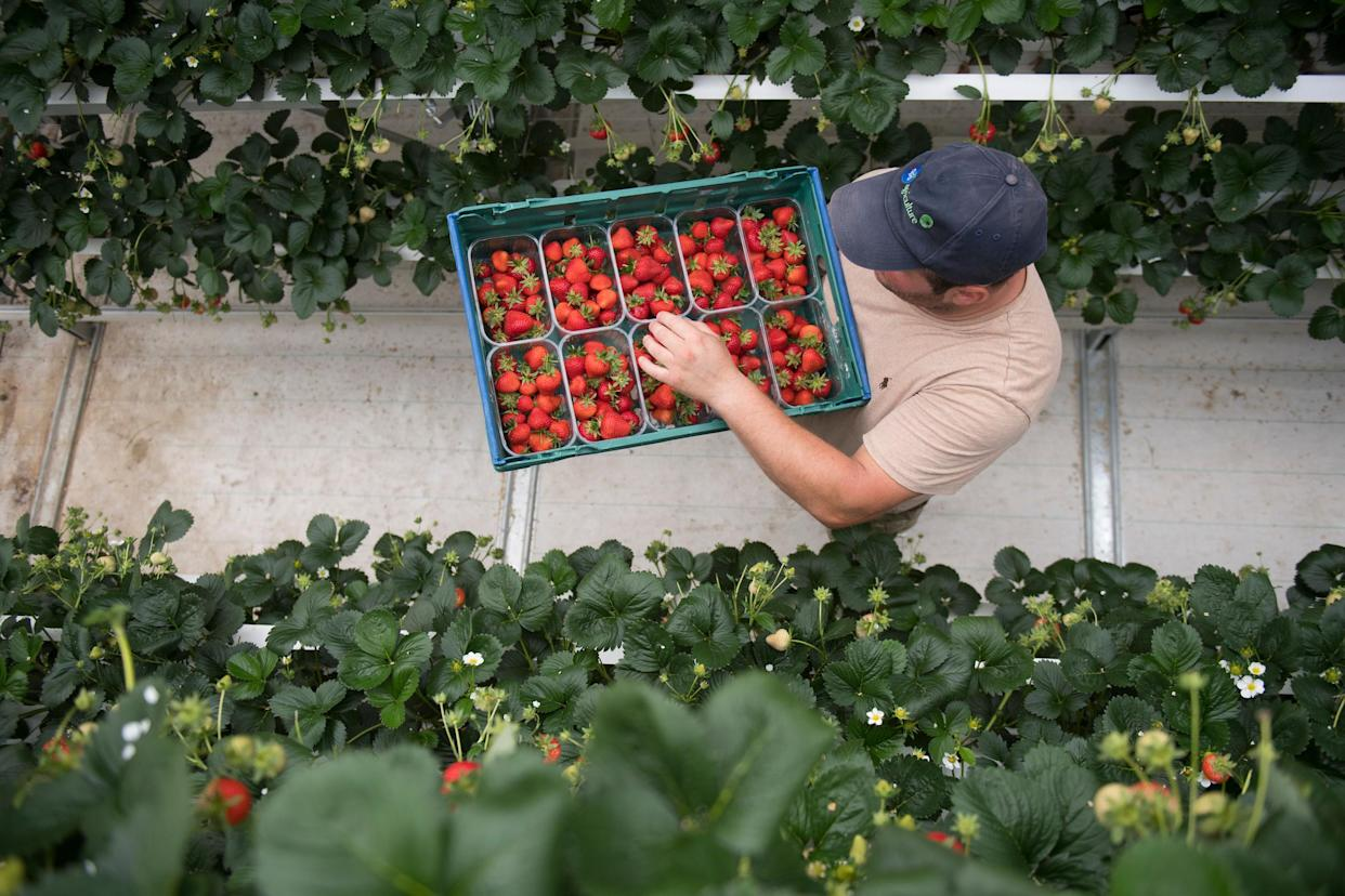 Staff at Wickes Farm in Ford, West Sussex, UK, harvest strawberries at the state-of-the-art farm (Ben Stevens/Parsons Media/PA)