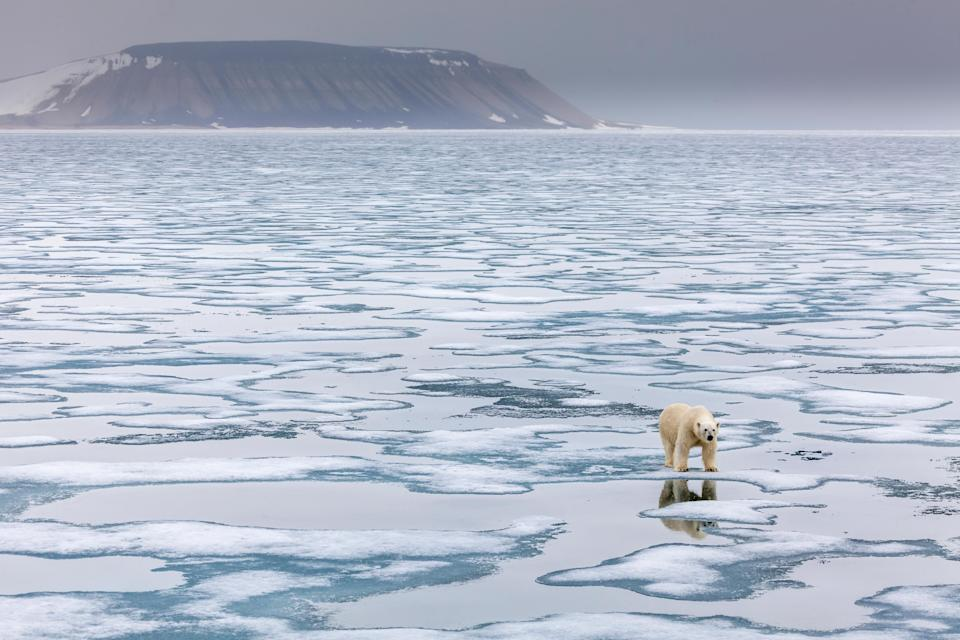 Getty Images: Polar bear in Norway's Svalbard archipelago. Credit: Patrick J. Endres/Getty Images