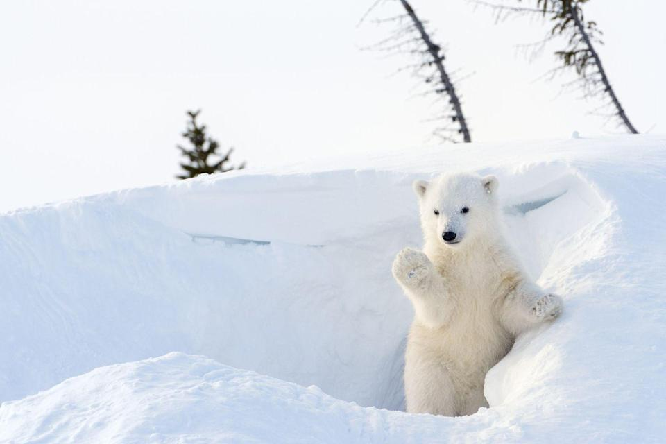 <p>Polar bears obviously look right at home in the snow (which is good, considering they need it in their environment). They actually clean themselves by rolling around in the snow, which is just about the cutest thing we've ever heard. </p>