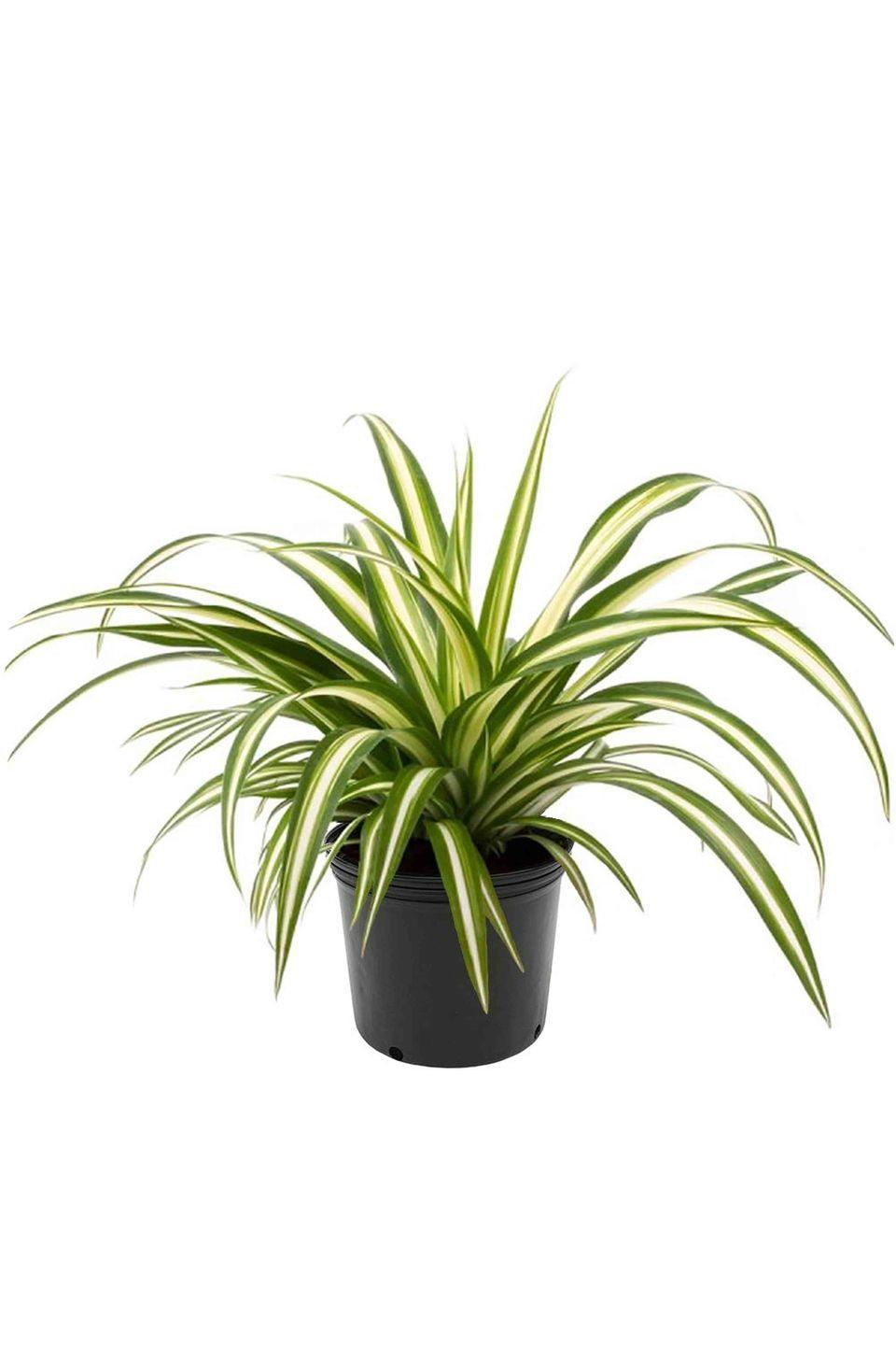 """<p><a class=""""link rapid-noclick-resp"""" href=""""https://www.amazon.com/AMERICAN-PLANT-EXCHANGE-Spider-Plant/dp/B07NQBS6DC/ref=sr_1_8?crid=2I8WSKJCV0I1B&keywords=spider+plant&qid=1560880671&s=gateway&sprefix=spider+pl%2Caps%2C126&sr=8-8&tag=syn-yahoo-20&ascsubtag=%5Bartid%7C10052.g.3284%5Bsrc%7Cyahoo-us"""" rel=""""nofollow noopener"""" target=""""_blank"""" data-ylk=""""slk:Shop Now"""">Shop Now</a></p><p><em>$20, Amazon</em></p><p>Even if you skip town for the weekend and forget to assign a friend plant-sitting duties, the spider plant will not punish you for neglecting it. The self-propagating, air-cleaning, petite, and pretty spider plant will grow in low to bright indirect light, making it a great option for apartment dwellers or first-time plant parents. </p>"""