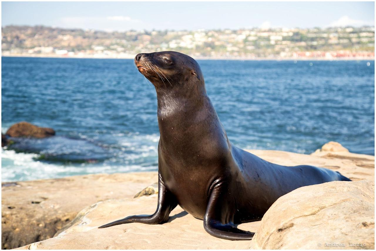 """<p>While the Eastern U.S. population of Stellar Sea Lions have been growing steadily (yay!), the Western U.S. population has taken a dip over the years. Because boat strikes and pollution are big factors for this decline, critical habitat and protective zones have been set up for these sea lions.</p><p><strong>RELATED</strong>: <a href=""""https://www.goodhousekeeping.com/life/travel/g4213/50-stunning-animals-from-our-national-parks/"""" target=""""_blank"""">50 Stunning Animals From Our National Parks</a> </p>"""