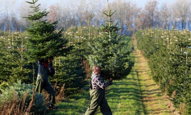 Harvest hands carry Nordmann firs through a plantation in Wieschendorf, Germany.