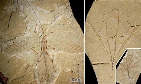 Fossils of a stick insect referred to as Cretophasmomima melanogramma and plant fossil Membranifolia admirabilis are pictured in this handout photo