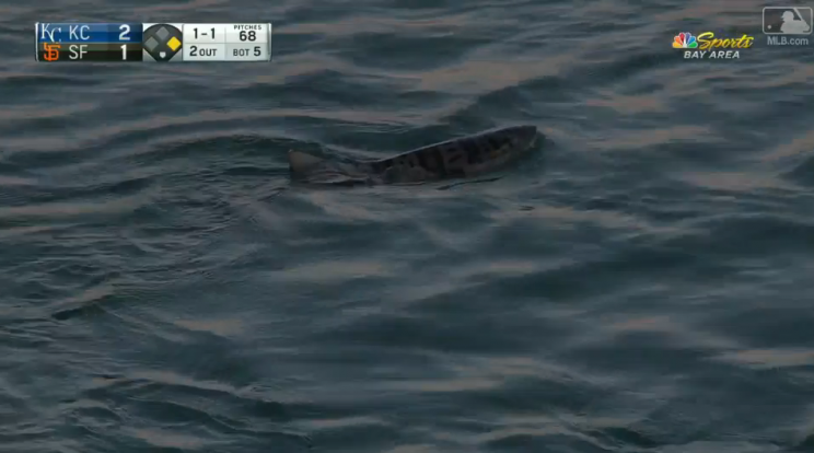 A leopard shark swims around McCovey Cove, wondering why the Giants aren't scoring more runs. (MLB.com)