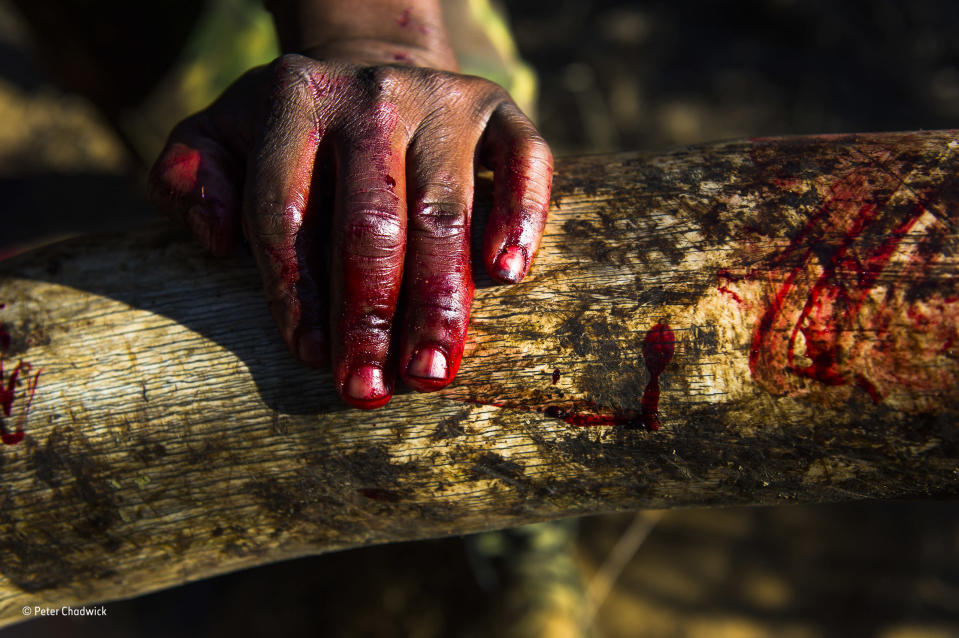 <p>In a protected area of Zululand, KwaZulu – Natal, South Africa, a ranger's bloody hand rests on a heavily grained ivory tusk, also covered in the blood of an African elephant. The bull had to be destroyed due to a severe tusk infection that couldn't be treated. The tusks were removed to a place of safekeeping, where they were carefully catalogued in accordance with legislation.<br><br>(Wildlife Photographer of the Year) </p>