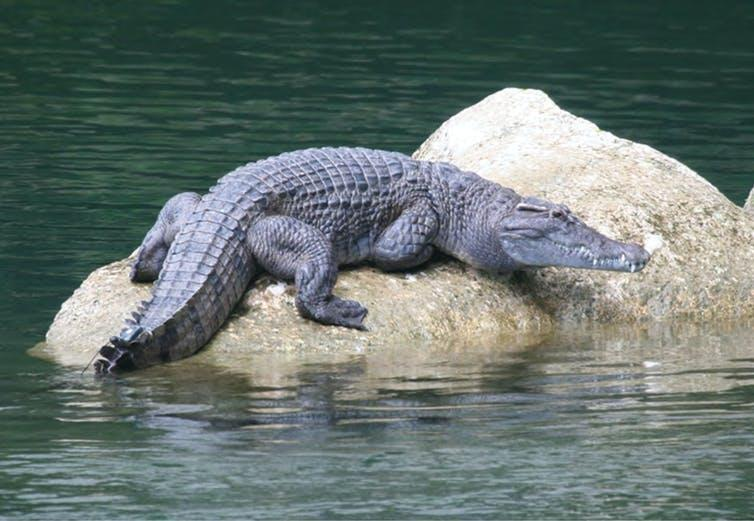 Crocodile basking on a rock in a river