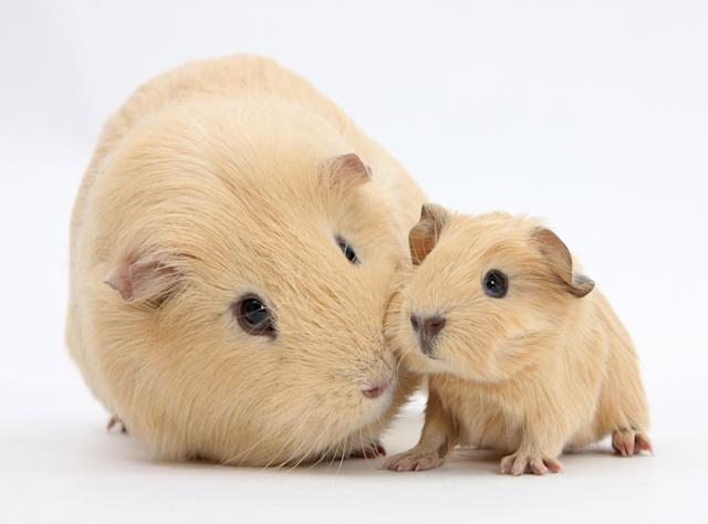 <p>Yellow mother and baby guinea pigs. (Warren Photographic/Mercury Press) </p>