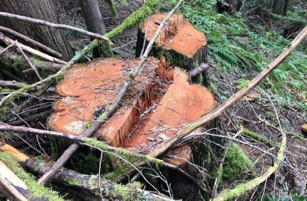 At least four Western red cedars and dozens of Douglas fir trees have been cut down and removed in a number of areas within the forest reserve in North Cowichan.