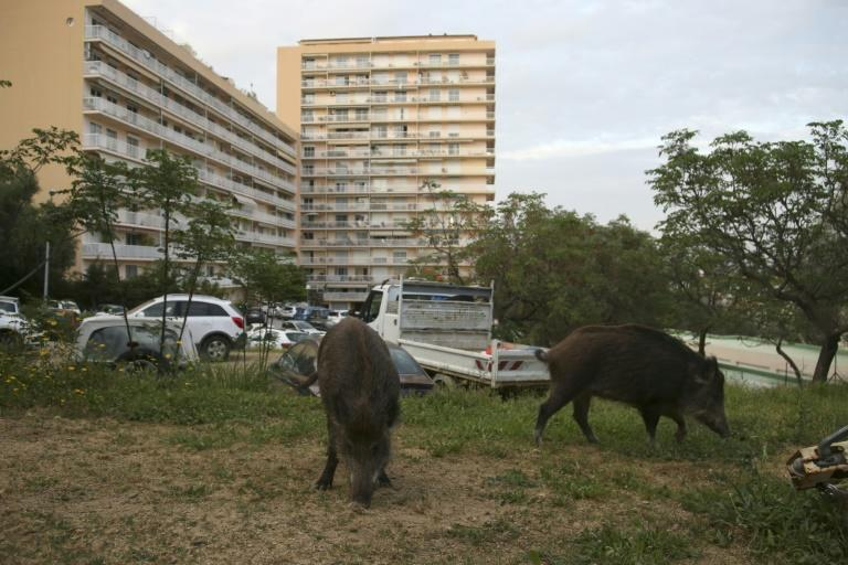 Wild boars eat the grass in a garden close to residential buildings in Ajaccio, Corsica, in April (AFP Photo/Pascal POCHARD-CASABIANCA)