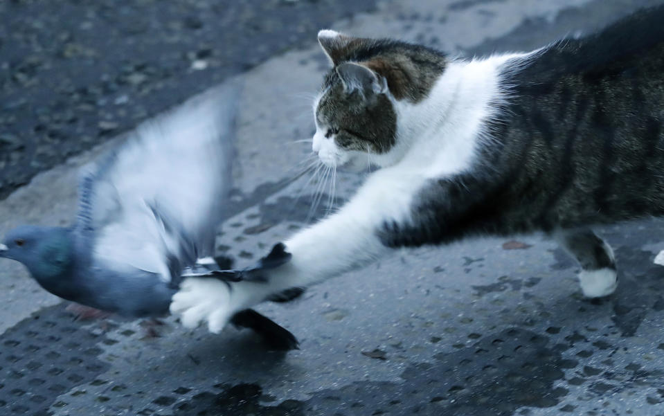 FILE - In this Thursday, Dec. 24, 2020 file photo, Larry the cat, Chief Mouser to the Cabinet Office catches a pigeon as journalists await results of the Brexit trade deal in Downing Street in London. Monday, Feb. 15, 2021 marks the 10th anniversary of rescue cat Larry becoming Chief Mouser to the Cabinet Office in a bid to deal with a rat problem at 10 Downing Street. (AP Photo/Frank Augstein, file)