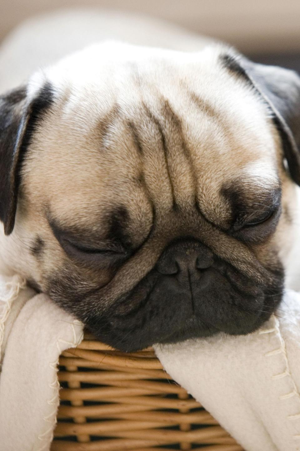 The 15 Laziest Dog Breeds That Are Total Couch Potatoes
