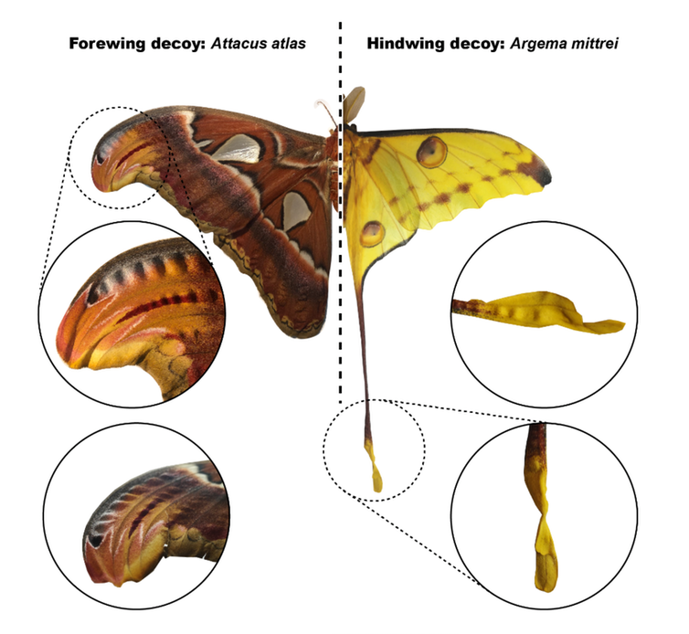 The location of acoustic decoy on different moths' wings