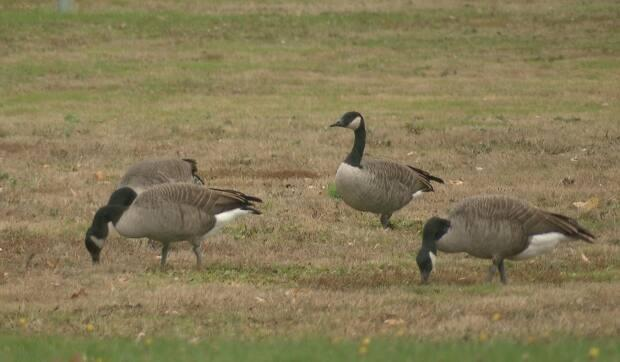 Moncton hopes strobe lights in parks will keep geese awake — and away
