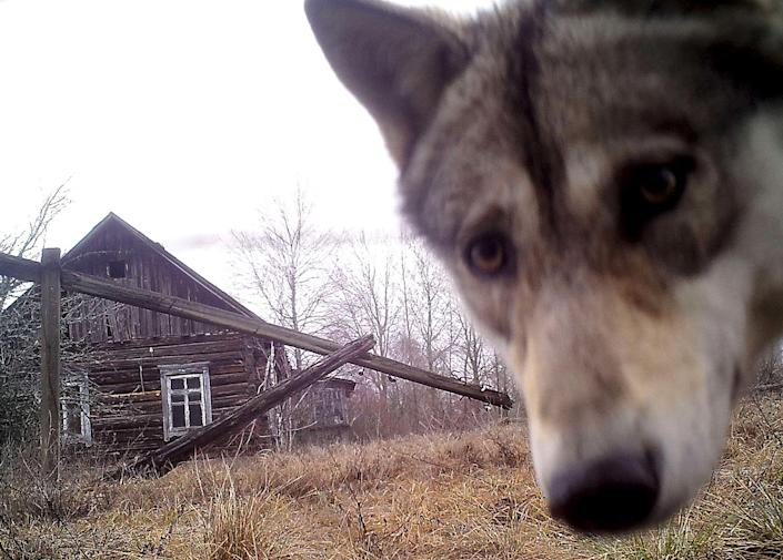 <p>A wolf looks into the camera at the 30 km (19 miles) exclusion zone around the Chernobyl nuclear reactor in the abandoned village of Orevichi, Belarus, March 2, 2016. (REUTERS/Vasily Fedosenko) </p>