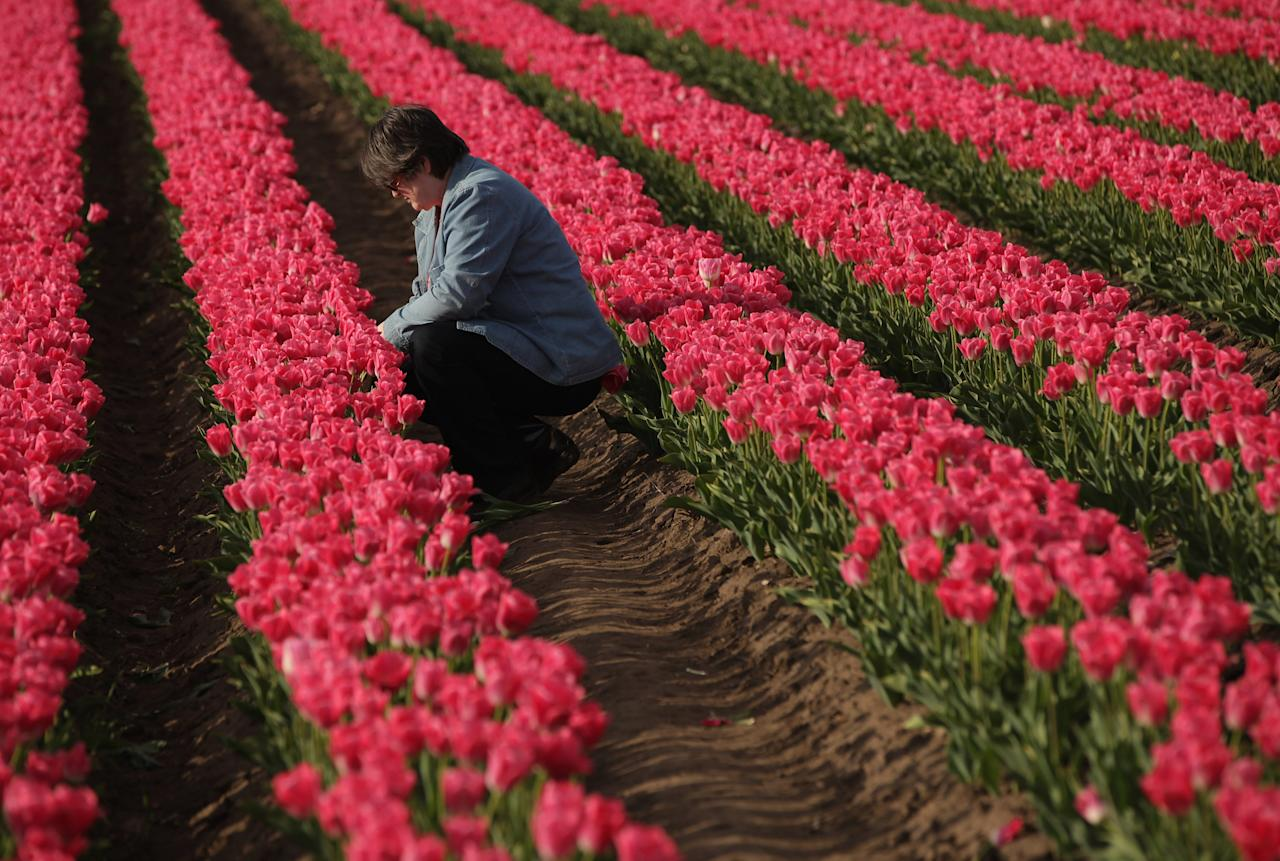 SCHWANEBERG, GERMANY - APRIL 27:  A visitor cuts tulips from a self-service tulip field on April 27, 2012 near Schwaneberg, Germany. Spring weather is finally taking hold in Germany with temperatures expected to reach 28 degrees Celsius by the weekend.  (Photo by Sean Gallup/Getty Images)