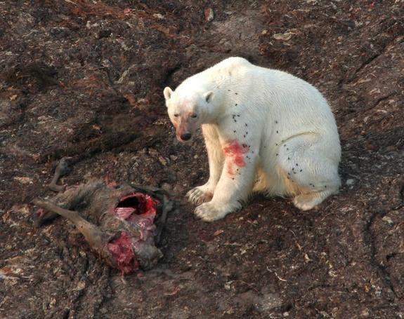 Polar Bears Hunt on Land as Ice Shrinks