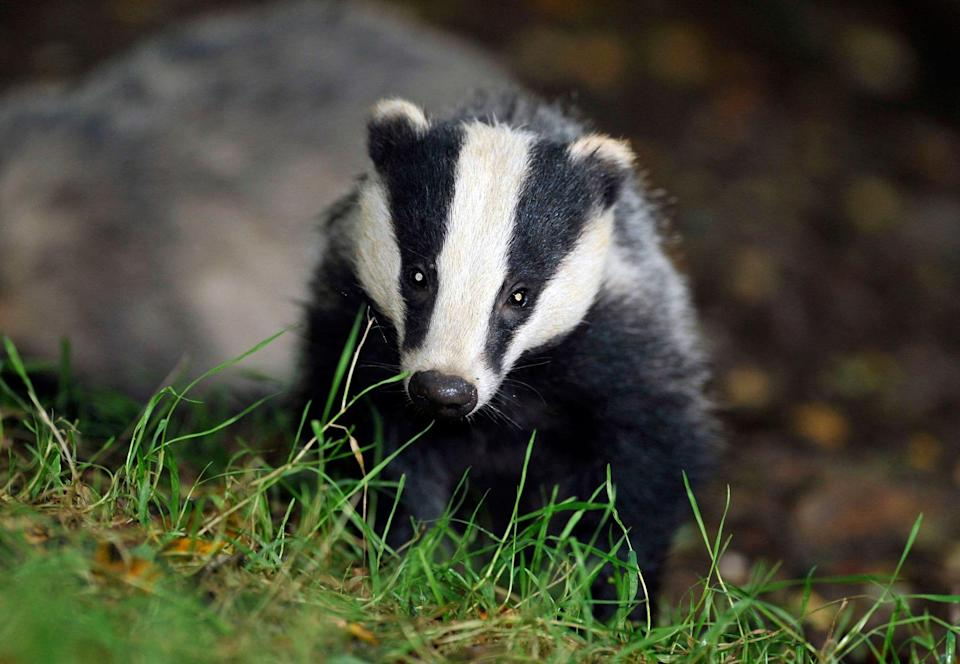 <p>The badger cull has wiped out more than 140,000 animals over the past eight years</p> (Ben Birchill/PA Wire)
