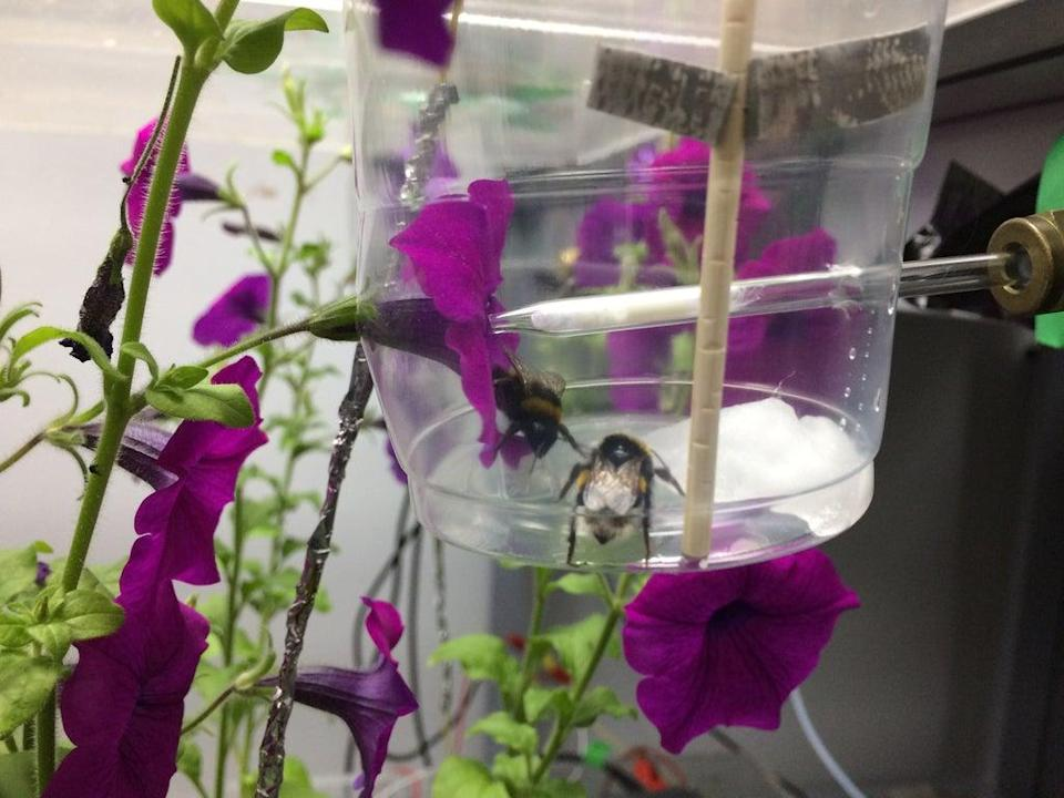 Using specially constructed foraging arenas, the team were able to measure the electrical charge carried by each bee (Clara Montgomery/University of Bristol/PA)