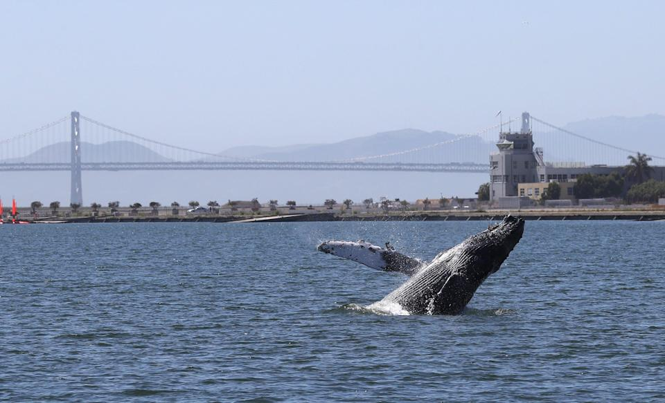 <p>A humpback whale breaches in a lagoon in Alameda, California</p> (Getty Images)