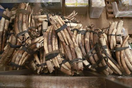 A pile of around 832 pieces of ivory weighing 2903kg, which was seized by Ugandan officials, lays in a storage facility at the revenues authority headquarters in Kampala