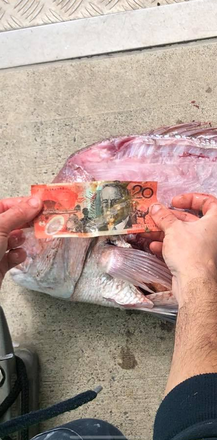 $20 bank note after being pulled from the stomach of a snapper found in Melbourne.