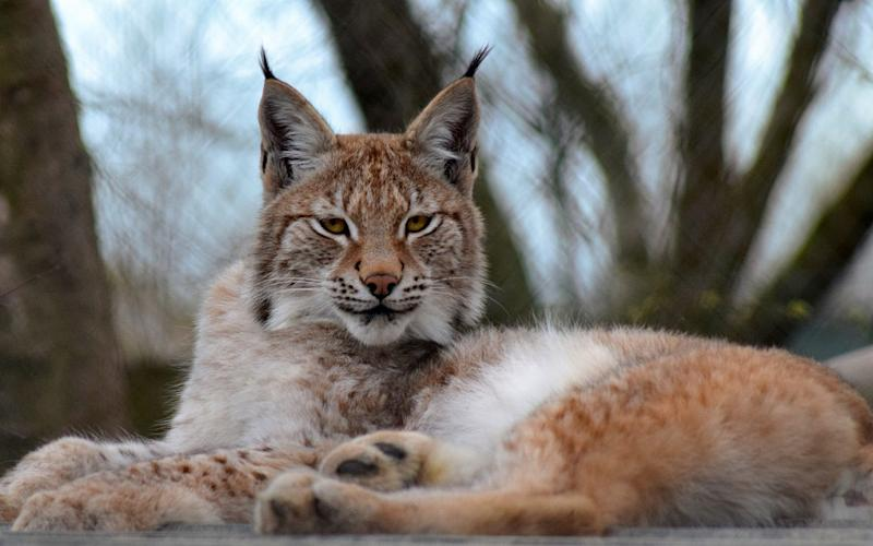 Lilleth, the escaped lynx, who was killed  - WALES NEWS SERVICE