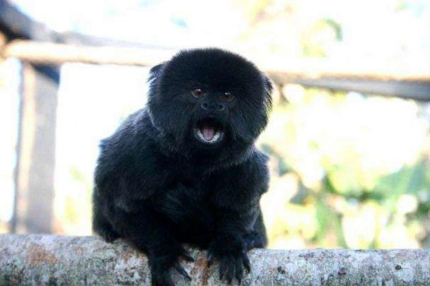 PHOTO: A Goeldi's monkey went missing from her enclosure at the Palm Beach Zoo in West Palm Beach, Fla., on Feb. 11, 2019. (Courtesy Palm Beach Zoo)