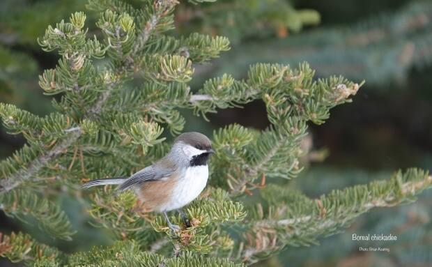 Brian Keating snapped this photo of a boreal chickadee while cross-country skiing in Kananaskis recently.