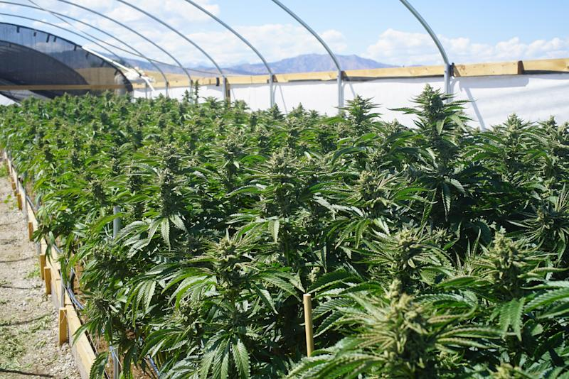 Cannabis plants growing in an outdoor greenhouse.