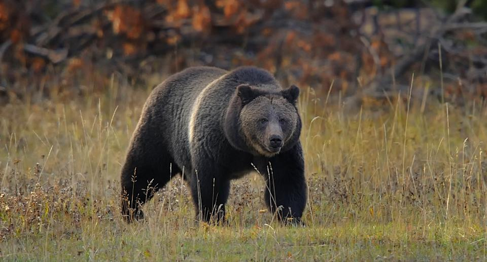 Grizzly Bear in Yellowstone National Park. Source: Getty Images