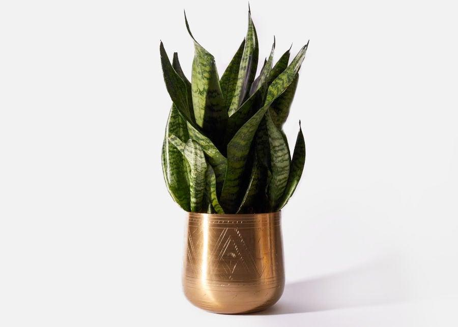 """<h3><h2>Snake Plant (Mother-In-Law's Tongue)</h2></h3><br><strong>Why She'll Love It</strong><br>On top of its tongue-in-cheek name, this popular, eye-catching plant is notoriously hard to kill.<br><br><strong>Care</strong><br>Place in anything from direct to indirect sunlight, allowing the soil to completely dry between watering.<br><br><em>Shop</em><strong><em> <a href=""""https://urbanstems.com/plants"""" rel=""""nofollow noopener"""" target=""""_blank"""" data-ylk=""""slk:UrbanStems"""" class=""""link rapid-noclick-resp"""">UrbanStems</a></em></strong><br><br><strong>Urban Stems</strong> The Cairo Snake Plant, $, available at <a href=""""https://go.skimresources.com/?id=30283X879131&url=https%3A%2F%2Furbanstems.com%2Fproducts%2Fplants%2Fthe-cairo%2FNF-K-00023.html"""" rel=""""nofollow noopener"""" target=""""_blank"""" data-ylk=""""slk:Urban Stems"""" class=""""link rapid-noclick-resp"""">Urban Stems</a>"""
