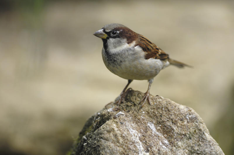 House sparrows remained in the top spot in the survey in 2019 (Ray Kennedy/RSPB/PA)