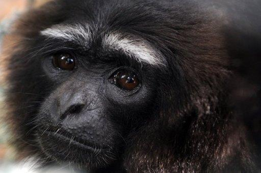 A rescued gibbon monkey is seen at the rehabilitation center run by French environmentalist Aurelien Brule, popularly known by his adopted nickname Chanee, meaning Gibbon in Thai, in Barito Utarra district of Central Kalimantan province, on Indonesia's Borneo island