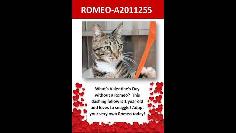 One-year-old Romeo is one of the many cats waiting to be adopted at Broward County's Animal Care and Adoption center, as of Feb. 12, 2020.