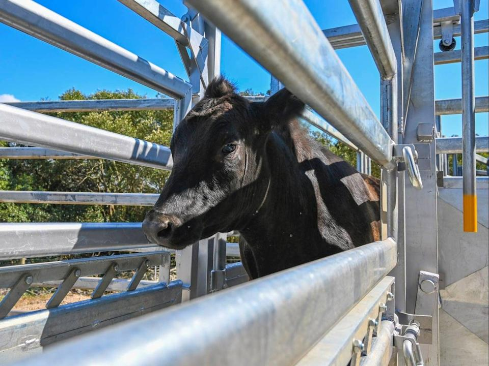 A one-year-old bull escaped from Saint Ignatius' College Riverview, Sydney, the day after it arrived at the college (Saint Ignatius' College Riverview)