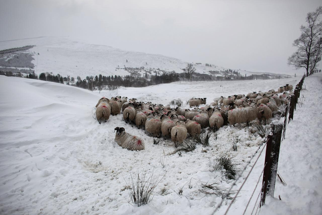 GLENSHEE, SCOTLAND - APRIL 03:  Sheep huddle together in a field near the Spittal of Glenshee on April 3, 2012 in Glenshee, Scotland. Snow has returned to parts of Scotland just a week after the country experienced record high temperatures for March. (Photo by Jeff J Mitchell/Getty Images)