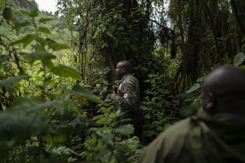 A gorilla tracker searches for gorillas from the Titus group in Volcanoes National Park, Rwanda. The trackers are the backbone of the entire conservation project. Their work enables the scientists, tour guides and veterinarians to find gorillas quickly. (Photo: Felipe Dana/AP)