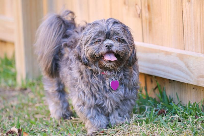 Healthy Shih Tzu Dog Reportedly Euthanized to Fulfill Late Owner's Will