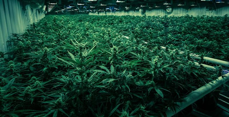 Greenhouse with low lighting and rows of cannabis plants.