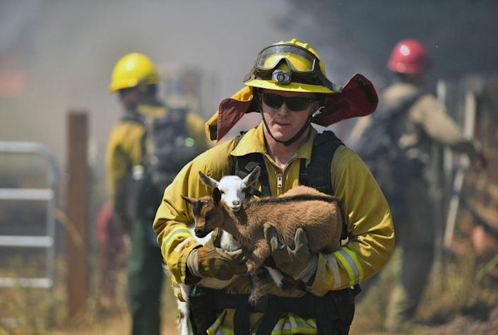<p>AUG. 14, 2016 — A firefighter rescues goats as flames from a wildfire envelope the area in Lower Lake, Calif. (AP Photo/Josh Edelson) </p>