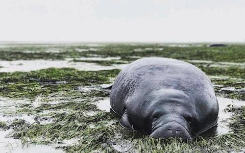 This photo provided by Michael Sechler shows a stranded manatee in Manatee County. Florida as Irma approached - Credit: AP