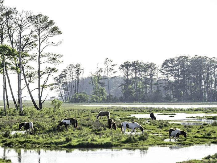 <p>The famed Chincoteague wild ponies wander free on this small island in Virginia. </p>