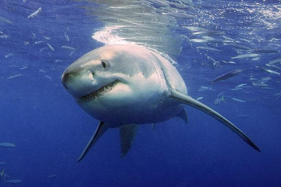 Scientists have never witnessed the mating behavior of great white sharks, such as this one cruising the waters for prey.