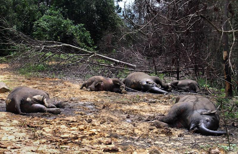 FILE - In this March 1, 2006 file photo, five wild elephants lie on the jungle floor after they were found poisoned to death near Mahato village, about 300 kilometers (180 miles) north of Pekanbaru, the capital of Riau province. An environmental group says 129 critically endangered elephants have died on Indonesia's Sumatra island in less than a decade, many from poisoning or shooting, highlighting the country's weak enforcement of laws against poaching. WWF Indonesia said in a report Tuesday, June 4, 2013 that the Sumatran elephants have been found dead in Riau province since 2004, but no one has been convicted or jailed. The group said killings are on the rise, with 29 elephants either shot or poisoned last year, including 14 in Aceh province. (AP Photo/Najla Tanjung, File)