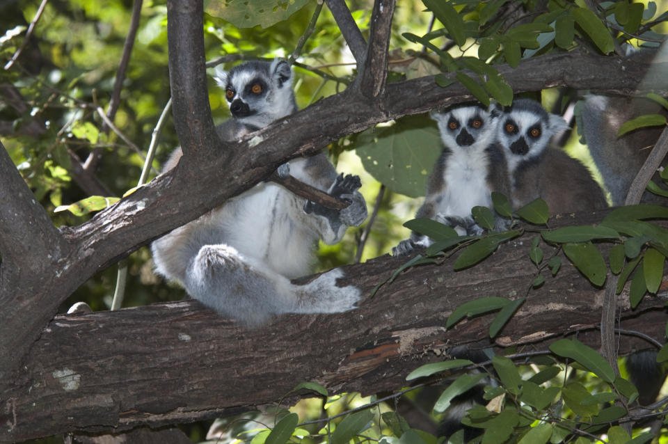 Ring Tailed Lemur (Lemur Catta), Isalo National Park, Fianarantsoa Province, Madagascar. (Photo by: Insights/Universal Images Group via Getty Images)