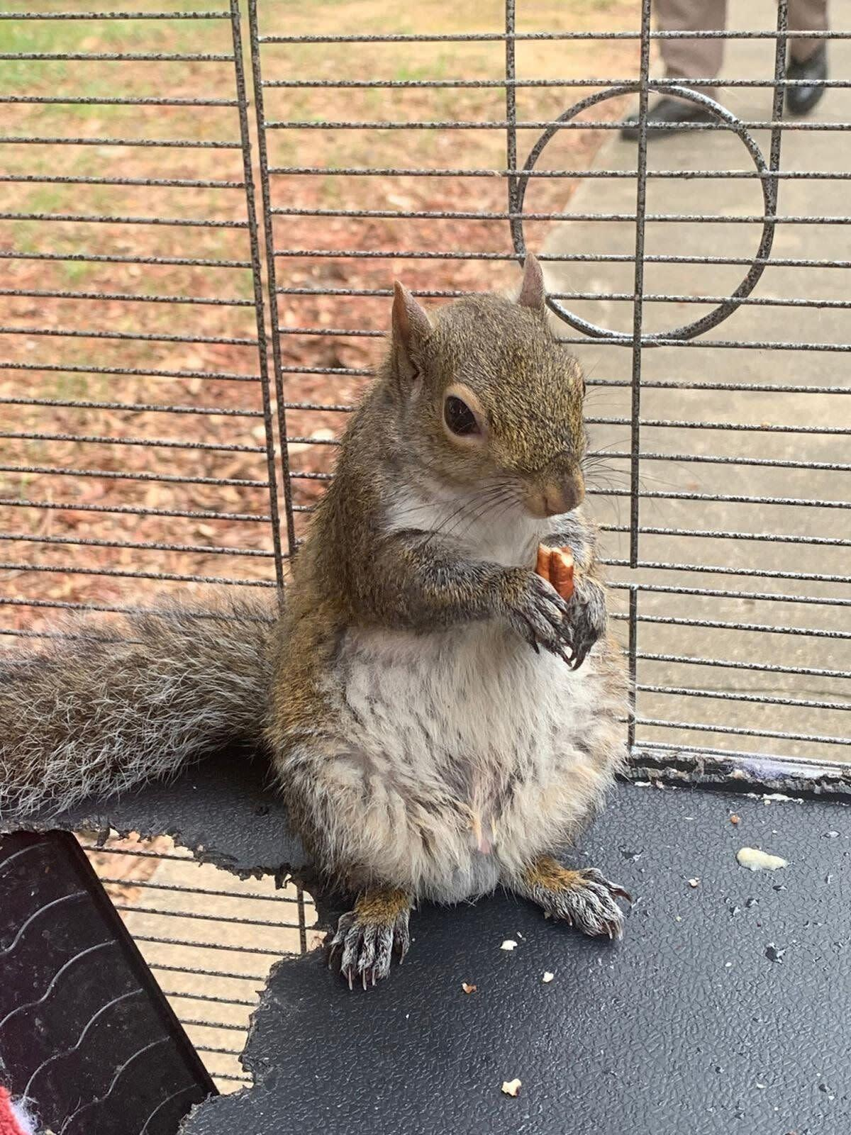 This is the so-called attack squirrel Limestone County sheriff's deputies seized in a drug raid Monday. (Photo: Limestone County Sheriff's Office)