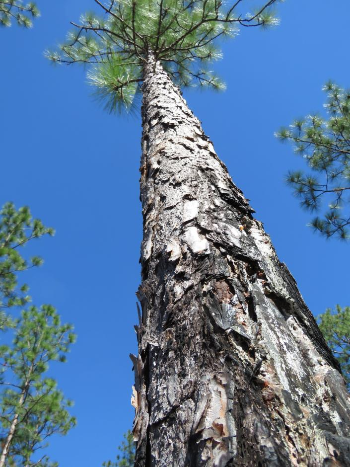 A fire-charred longleaf pine stands in the DeSoto National Forest in Miss. on Wednesday, Nov. 18, 2020. An intensive effort in nine coastal states from Virginia to Texas is working to bring back the pines named for the long needles prized by Native Americans for weaving baskets. (AP Photo/Janet McConnaughey)